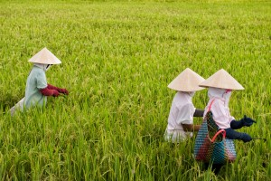 Vietnam is the 3rd largest exporter of rice in the world, and most of the country's rice is grown in the rich fields of the Mekong Delta.